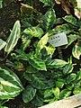 女王竹芋 Calathea louisae cv.Maui Queen 20200221172752.jpg