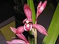 建蘭-色花 Cymbidium ensifolium Colour-series -香港沙田國蘭展 Shatin Orchid Show, Hong Kong- (9204835359).jpg