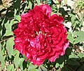日本牡丹-滿天紅 Paeonia suffruticosa Mantenko -日本大阪長居植物園 Osaka Nagai Botanical Garden, Japan- (41663527054).jpg