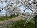 木場湖「千本桜」 - panoramio (4).jpg
