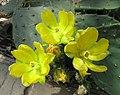 琉璃鏡 Opuntia lindheimeri -比利時國家植物園 Belgium National Botanic Garden- (9213323969).jpg