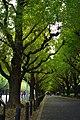 神宮外苑 2010銀杏 - panoramio.jpg