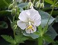老鸛草屬 Geranium phaeum 'Album' -挪威 Ulvik, Norway- (35998786735).jpg