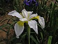 西伯利亞鳶尾 Iris sibirica Lemon Veil -瀋陽世博園 Shenyang Expo Gardens, China- (9252460829).jpg