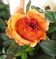 迷你玫瑰 Rosa Cameroon -香港花展 Hong Kong Flower Show- (32773233898).jpg