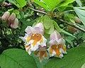 雲南雙盾木 Dipelta yunnanensis -比利時 Ghent University Botanical Garden, Belgium- (9190649567).jpg