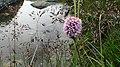 鳌山大梁上的野花 - panoramio.jpg