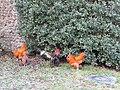 -2019-01-29 Buff Oprington chickens, Trimingham.JPG