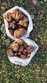 """.قارچ بسیار مغذی و کمیاب دنبلان یا """"ترافل"""" که در فصل بهار در کوه های اطراف روستای اسکانلو یافت می شود.jpg"""