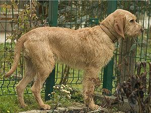 Griffon Fauve de Bretagne - Griffon Fauve de Bretagne No. 66