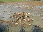 09489jfRoads Rice Domesticated ducks Paligui Candaba Pampangafvf 12.JPG