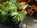 0998Ornamental plants in the Philippines 55.jpg