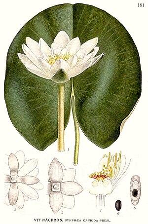 Carl Axel Magnus Lindman - Image: 181 Nymphaea candida