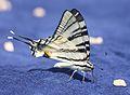 1833 Papilio.JPG