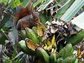 1 Especie de ardilla (Sciurus), Henri Pittier, Venezuela.jpg