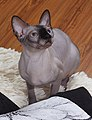 1 adult cat Sphynx. img 015.jpg