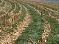 2004 0609 Italian ryegrass cover crop.jpg