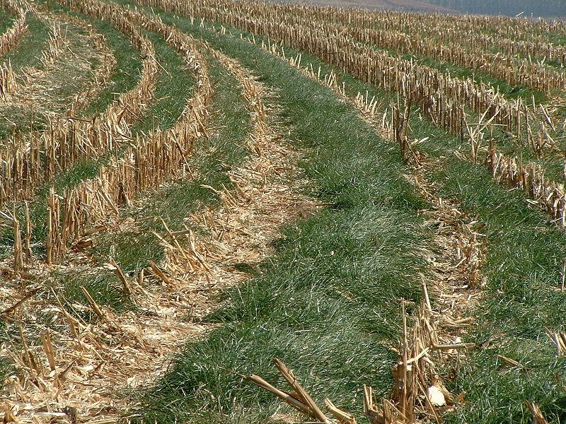 File:2004 0609 Italian ryegrass cover crop.jpg