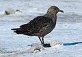 2007 Snow-Hill-Island Luyten-De-Hauwere, South Polar Skua 69.jpg