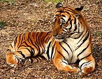 2012 Suedchinesischer Tiger.JPG