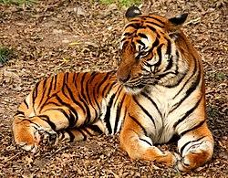 Un tigre chinois, au zoo de Shanghai