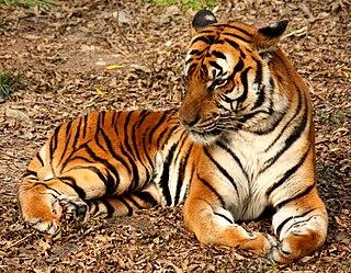 South China tiger subspecies of mammal