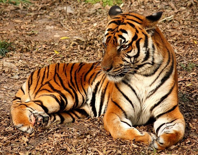 File:2012 Suedchinesischer Tiger.JPG