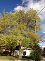 2014-04-28 18 04 41 Norway Maple blooming in Elko, Nevada.JPG