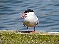 2014-05-18 Sterna hirundo, Killingworth Lake, Northumberland 07.jpg