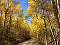 2014-10-04 13 07 35 View of Aspens during autumn leaf coloration along Charleston-Jarbidge Road (Elko County Route 748) in Copper Basin about 7.2 miles north of Charleston, Nevada.jpg