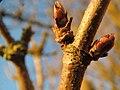 20140112Sambucus nigra3.jpg
