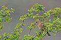 20140403 053 Kessel Weerdbeemden Vink (13609713674).jpg