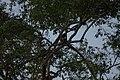 2014 Borneo Luyten-De-Hauwere-Monkey-01.jpg