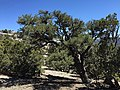 2015-04-27 13 31 08 An older Single-leaf Pinyon on the north wall of Maverick Canyon, Nevada.jpg