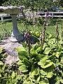 2015-07-20 12 19 30 Hosta flowering along Terrace Boulevard in Ewing, New Jersey.jpg