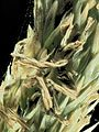 2015-07-25-16.52.50 ZS PMax Calamagrostis nutkaensis-1 (20030393722).jpg