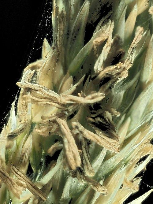 500px 2015 07 25 16.52.50 zs pmax calamagrostis nutkaensis 1 (20030393722)