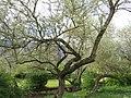 20150504Elaeagnus angustifolia3.jpg