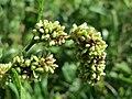 20150811Persicaria lapathifolia.jpg