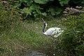 2016-09 zoo sauvage de Saint-Félicien - Grus japonensis 02.jpg