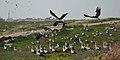 2017-03-11 Migratory storks resting in Rahat.jpg