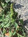 20170704Amaranthus retroflexus1.jpg