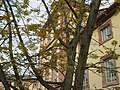 20171118Pterocarya fraxinifolia2.jpg
