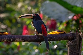 20180818-Pale-mandibled aracari at Bosque Protector Mindo – Nambillo.jpg