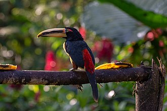 Pale-mandibled aracari - At Mindo cloud forest, Ecuador