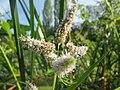 20180918Mentha longifolia3.jpg