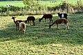 20181010 lamas geit en schapen langs de Leppedijk Nij Beets.jpg
