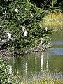 26 Egrets Beaufort SC 6408 (12367613535).jpg