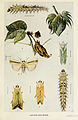 29-Indian-Insect-Life - Harold Maxwell-Lefroy - Earias.jpg