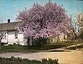 30th & Orchard in Corvallis – prunus cerasifera 'pissardii' variety (5168288452).jpg